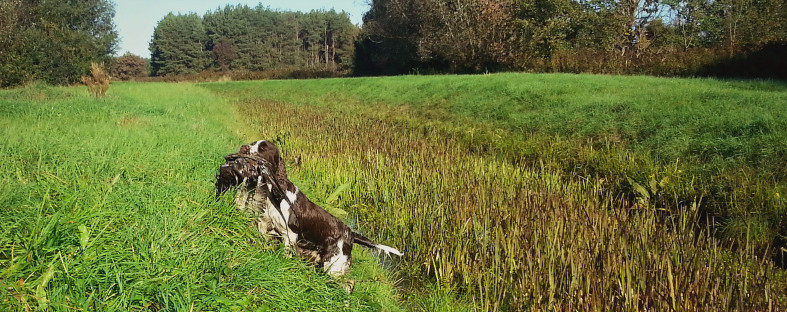 Retriving springer, Springer work, phaesant retriving, springer spaniel