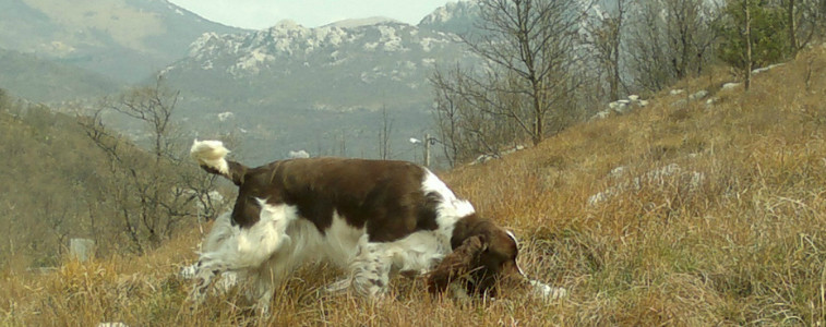 Springer Spaniel, Dragons Like It Hot Tamaam wait to retrieve, Aithusa kennel