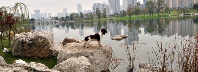 Springer spaniel at river bank, China