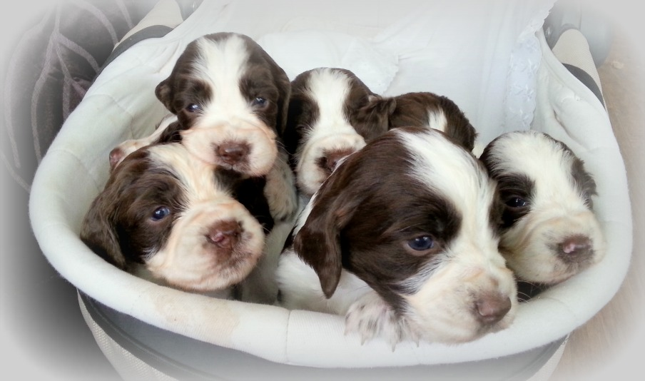 Springer spaniel puppies -litter B